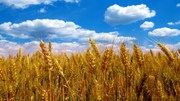 Пшеница, ячмень, отруби, семечка