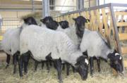 Овцы,  ягнята,  жывой вес